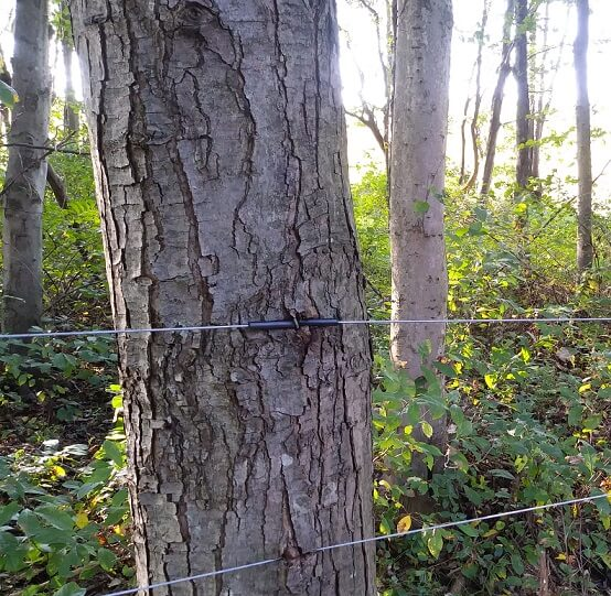 Tree growing over high tensile electric fence. The wire is starting to cut into the bark.