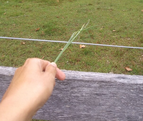 Picture of a hand holding a grass stem against electric fence. There is about 3 inches between the fence and the hand. Used to troubleshoot electric fences.